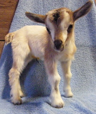 Baby goat named Nougat; Buttermilk Sky the Overexcited Goat