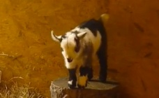 Goat of the Week: Quaver, the Apprehensive Baby Pygmy Goat